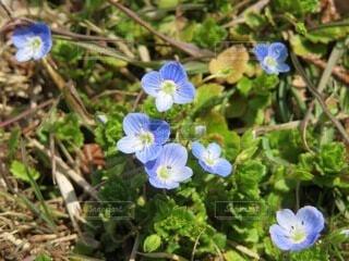 花,春,屋外,白,青,フラワー,小さい,flower,オオイヌノフグリ,接写,草木,春の花,ブルーム,フローラ