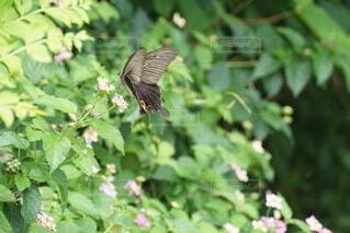 自然,花,動物,鳥,屋外,白,黒,飛ぶ,昆虫,グリーン,蝶,クロアゲハ,花園,小花,アゲハ蝶,アゲハ,蜜,揚羽蝶,とまる,蛾や蝶