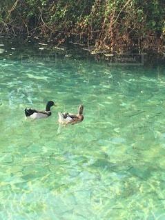 動物,鳥,屋外,湖,プール,水面,泳ぐ,樹木,鴨,ガチョウ