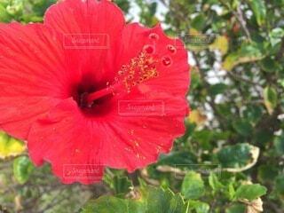 花,屋外,植物,赤,ハイビスカス,樹木,草木,フローラ,ハワイアンハイビスカス