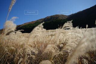 自然,風景,空,秋,雪,屋外,山,草,原っぱ,草木,すすき