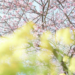 花,春,カメラ,桜,屋外,黄色,菜の花,樹木,河津桜,草木