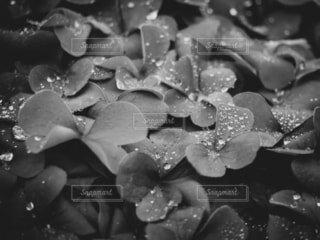 公園,花,雨,モノクロ,水滴,水面,草,雨粒,黒と白,液滴