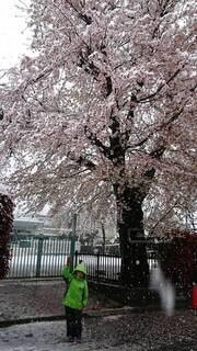 花,春,雪,屋外,樹木,草木,さくら