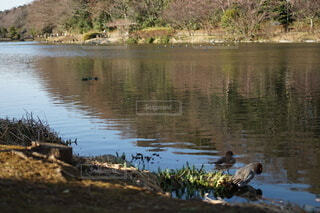 野鳥と池の写真・画像素材[4183882]