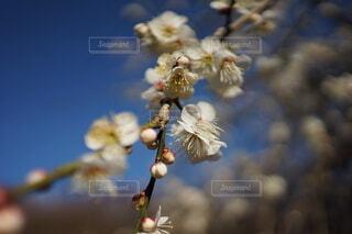 花,春,梅の花,草木,ブロッサム