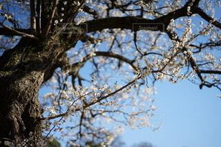 空,花,春,屋外,梅,樹木,梅の木,草木,桜の花,さくら,腰掛け,ブロッサム