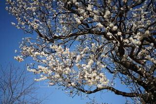 空,花,春,屋外,青い空,樹木,草木,桜の花,さくら,ブロッサム