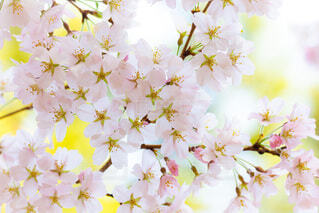 自然,風景,花,春,桜,ピンク,かわいい,花見,日本,パステル,和,ふんわり,cherry blossom,pink,透明感,Spring,春爛漫,4月,さくら