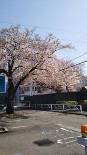 春の桜の写真・画像素材[4296481]