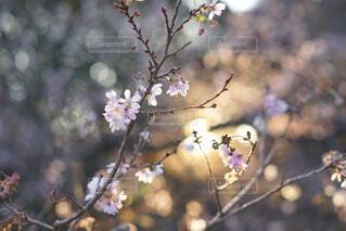 花,春,桜,ピンク,光,樹木,草木,ブロッサム,十月桜