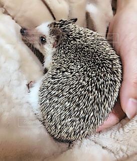 動物,綺麗,ペット,小さい,ハリネズミ,可愛い,アニマル,手のひらサイズ,小さいハリネズミ