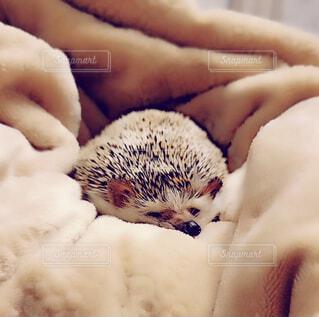 動物,ペット,小さい,ハリネズミ,可愛い,お昼寝,アニマル,エキゾチックアニマル,スヤスヤ,お昼寝中のハリネズミ