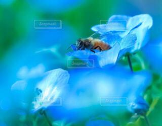 ミツバチとネモフィラの写真・画像素材[4230906]