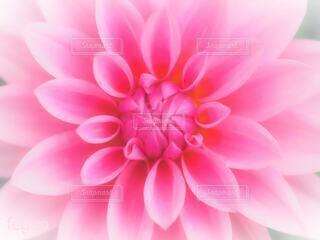 ピンクの花びらの写真・画像素材[4232361]