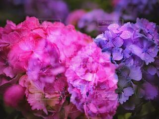 融合する紫陽花の写真・画像素材[4232605]