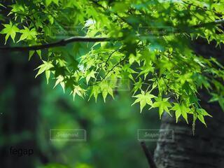 新緑の青もみじの写真・画像素材[4232654]