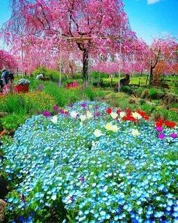 ネモフィラと桜の写真・画像素材[4232819]