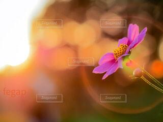 夕日を受けるコスモスの写真・画像素材[4235345]