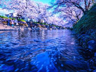 満開の桜並木と川に流れる花びらの写真・画像素材[4235355]