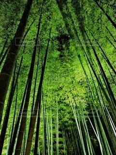 竹林のライトアップの写真・画像素材[4235458]
