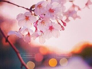夕日を背に咲く桜の写真・画像素材[4237006]