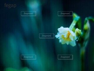 雨滴に濡れるスイセンの花の写真・画像素材[4237140]