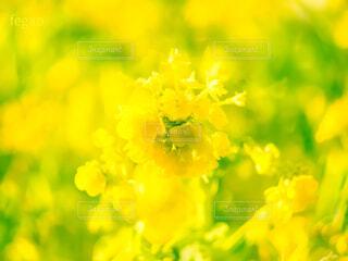 春の菜の花畑の写真・画像素材[4262568]