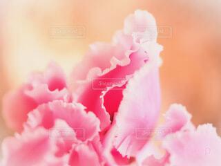 ピンクのシクラメンの写真・画像素材[4262594]