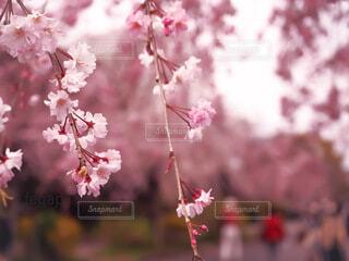 満開の枝垂れ桜の写真・画像素材[4262607]