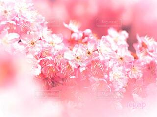 春の日の椿寒桜の写真・画像素材[4270923]