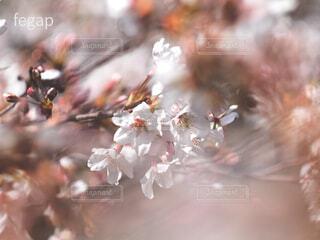 白き桜の開花の写真・画像素材[4287726]
