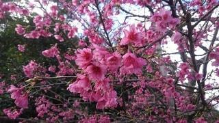 花,ピンク,樹木,草木,桜の花