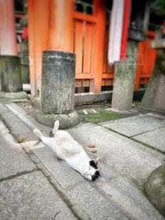 犬,猫,動物,屋外,歩道,地面,溝 爆睡 腹見せ 神社 京都 お昼寝