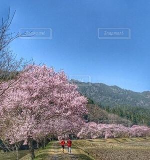 桜並木の写真・画像素材[4296712]