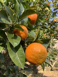 屋外,果物,樹木,柑橘類,柑橘系,グレープ フルーツ