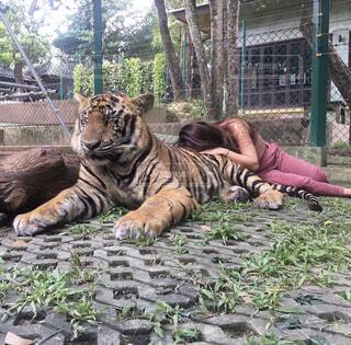 動物,屋外,地面,タイ,ジャスミン,タイガー,ベンガルトラ