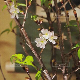 花,桜,ピンク,白,草木,新春,掛け軸,初桜,フローラ