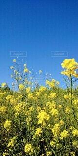 自然,風景,空,花,春,花畑,屋外,植物,青空,黄色,菜の花,景色,癒し,明るい,レジャー,野外,草木,お出かけ