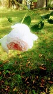 花,庭,屋外,ピンク,植物,一輪,バラ,草,優しい,薔薇,淡い,パステルピンク