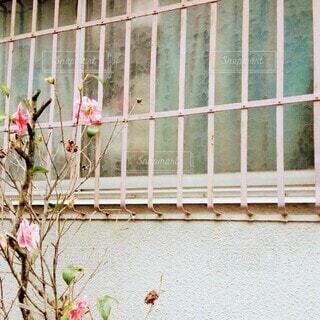 建物,花,冬,ピンク,窓,バラ,日常,レトロ,椿,懐かしい,草木