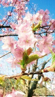 花,春,ピンク,青空,花見,満開,明るい,草木,桜の花,さくら,ブロッサム