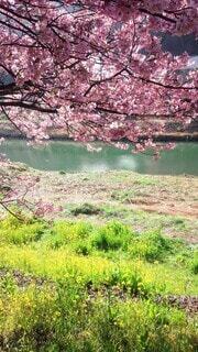 自然,花,春,屋外,ピンク,黄色,川,水面,菜の花,水辺,花見,草,樹木,新緑,明るい,草木,さくら,ブロッサム