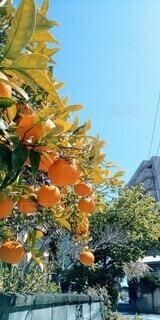 青空とオレンジの木の写真・画像素材[4135973]