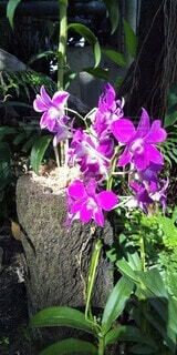 花,屋内,ピンク,植物,紫,室内,花びら,温室,植物園,ラン,蘭,草木