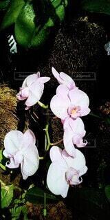 花,ピンク,植物,室内,花びら,温室,植物園,胡蝶蘭,蘭,草木