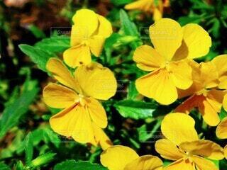 花,春,屋外,緑,植物,黄色,日差し,鮮やか,草,パンジー,明るい,草木
