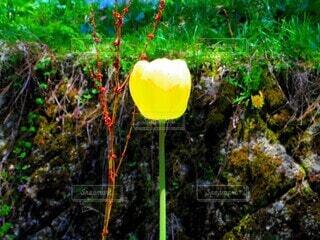 自然,花,春,屋外,植物,黄色,一輪,チューリップ,明るい