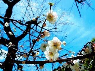 空,花,春,屋外,梅,青空,季節,樹木,梅の花,草木,初春,早春,2月
