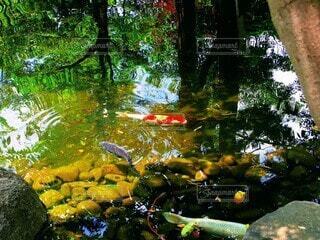 池の鯉の写真・画像素材[4169692]